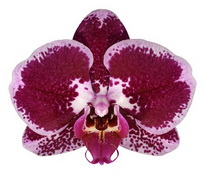 Angers (Anthura) цветок 8 см