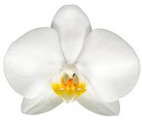 Aberdeen (Anthura) цветок 8 см