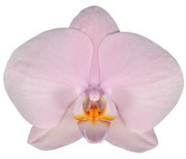 Akita (Anthura) цветок 12 см