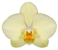 Alassio (Anthura) цветок 9 см