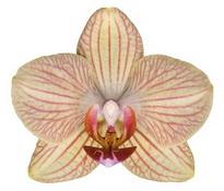 Alghero (Anthura) цветок 7 см