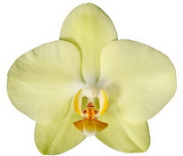 Antalya (Anthura) цветок 9 см