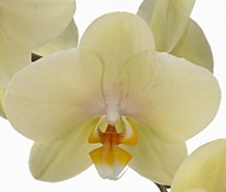 phalaenopsis alassio