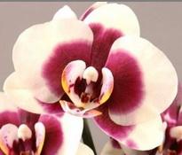phalaenopsis alessia