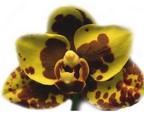 phal armelia gold