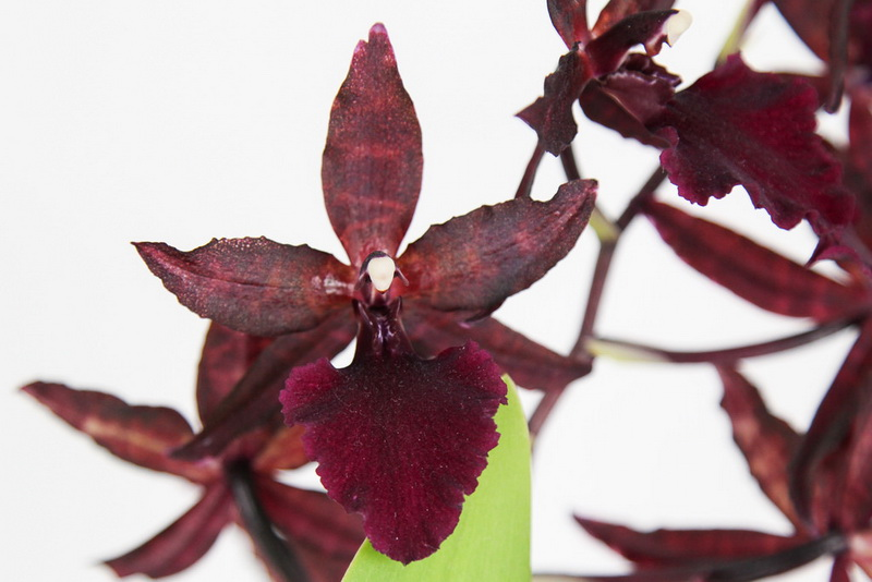Colmanara Massai red
