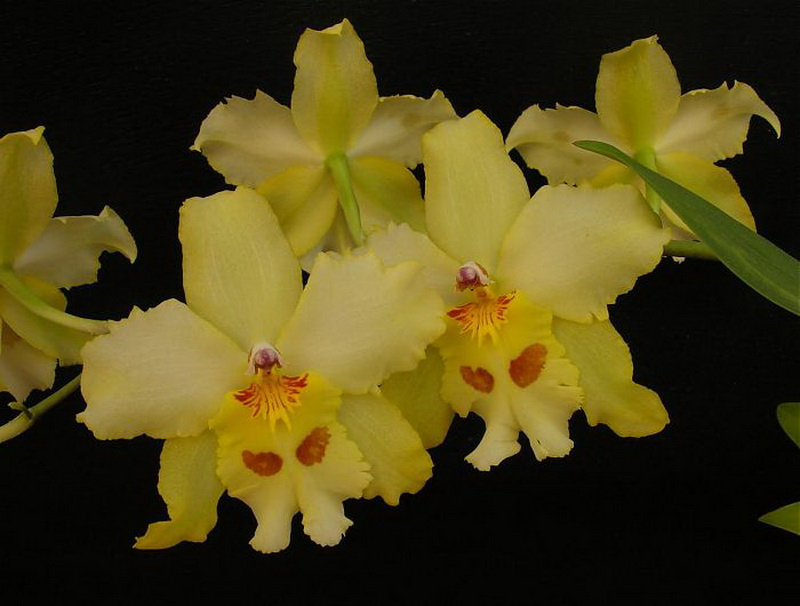 Odontonia YellowParade'Alpine'
