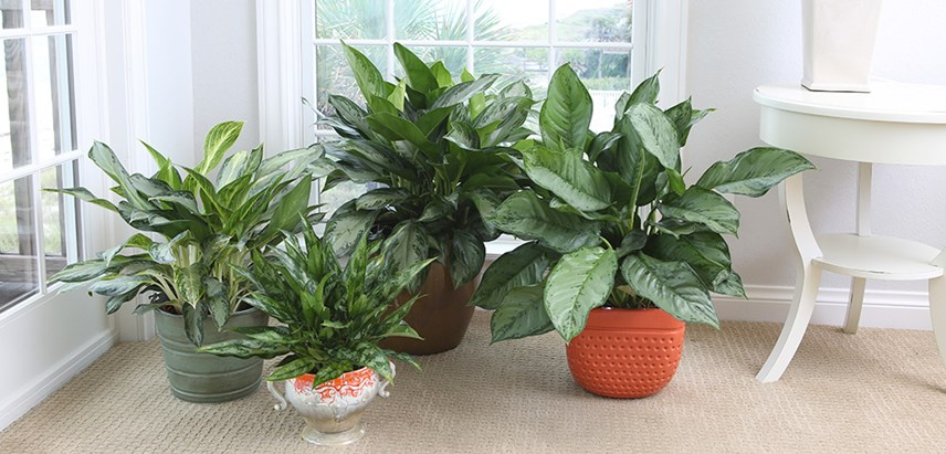 Costa-Farms-Chinese-Evergreen---Aglaonema-Houseplant