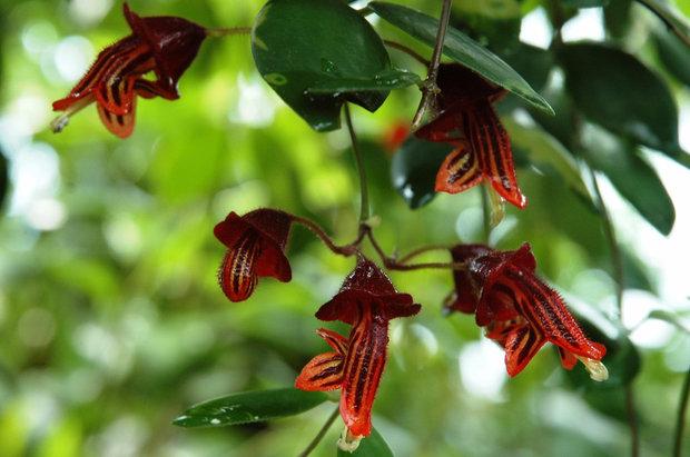 Эсхинантус трехцветный (Aeschynanthus tricolor)
