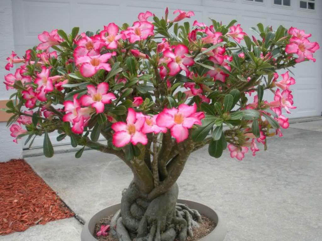 Adenium-obesum-Desert-Rose-Impala-Lily5
