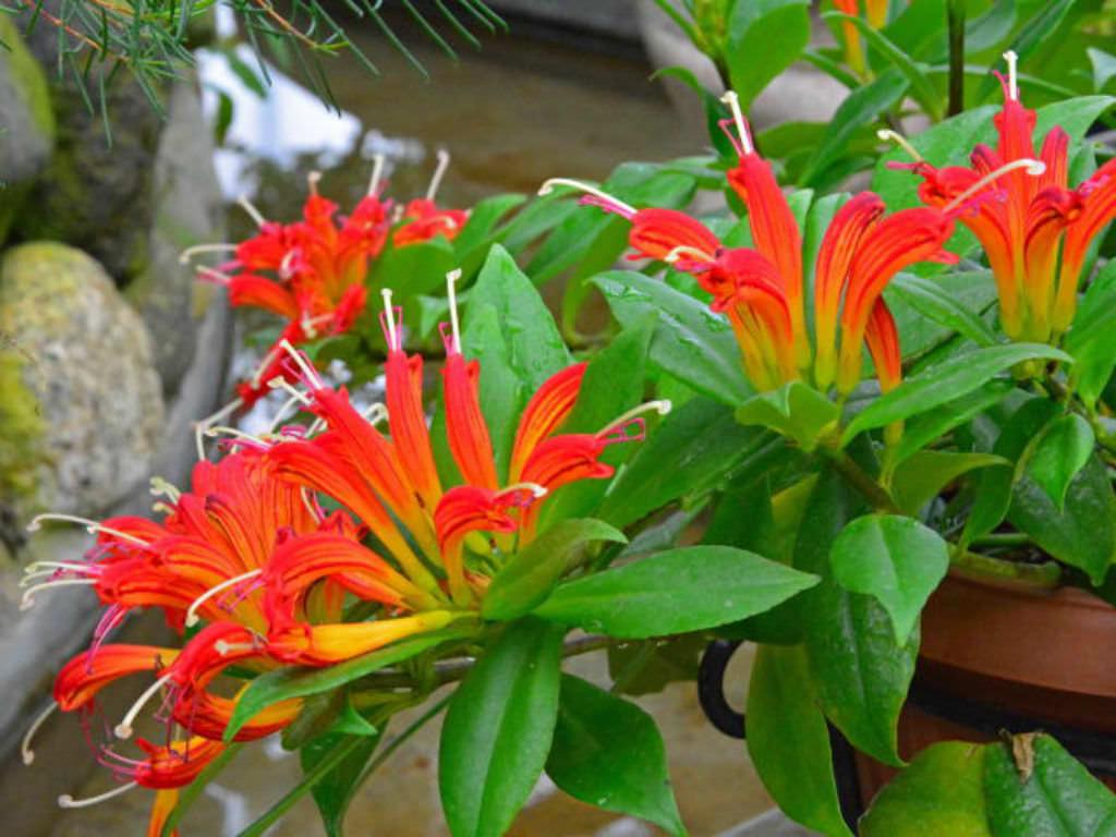 Эсхинантус прекрасный (Aeschynanthus speciosus)