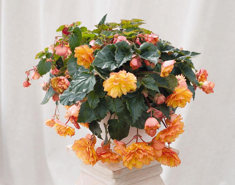 Begonia-×-tuberhybrida-2