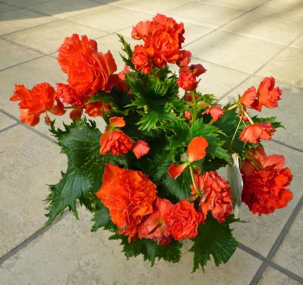 Begonia 'Renaissanse'