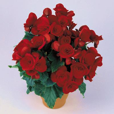 Begonia 'Baladin'