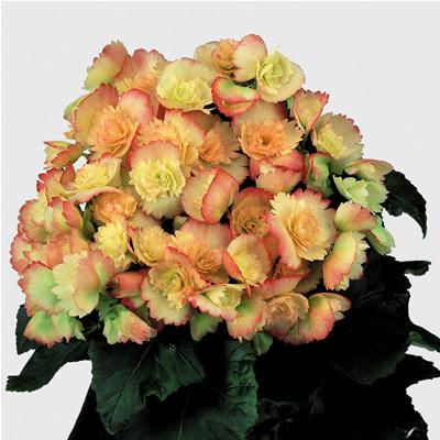 Begonia 'Janny Fringed'