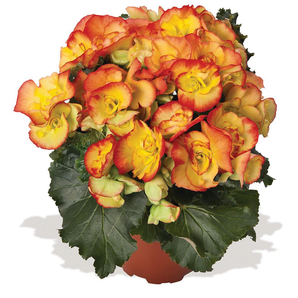 Begonia 'Rio'