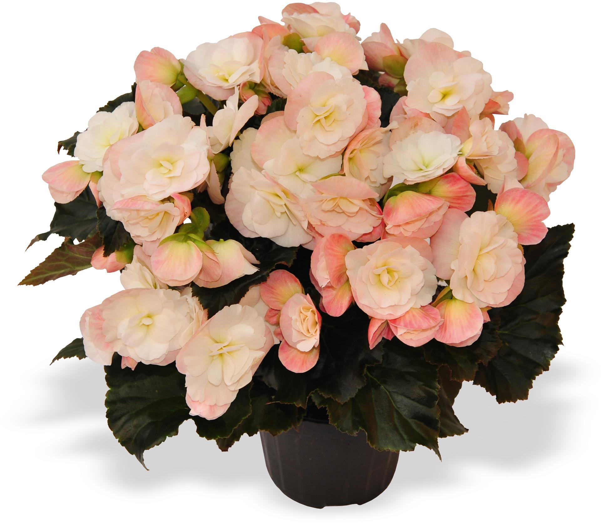 Begonia Red Fox 'Dragon White'