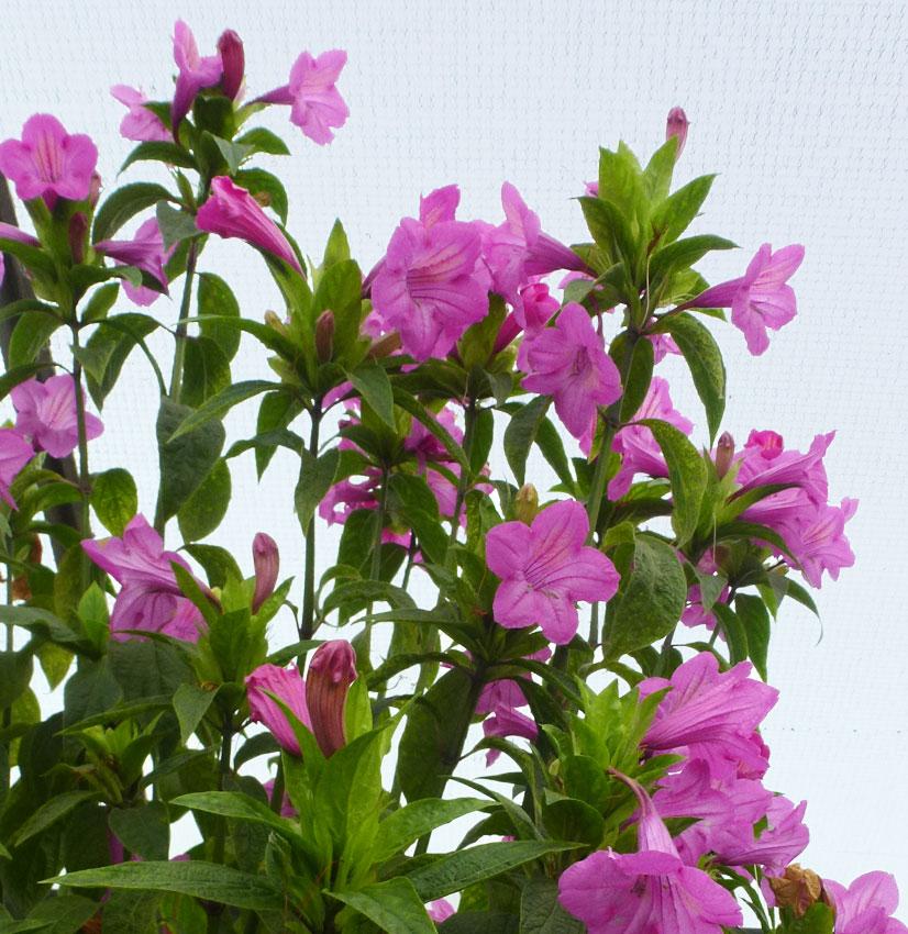 Руэллия крупноцветковая (R.macrantha)