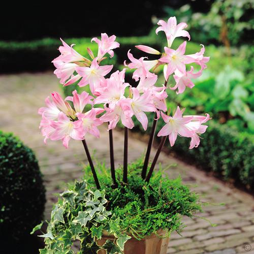 Crinium powelli rosea