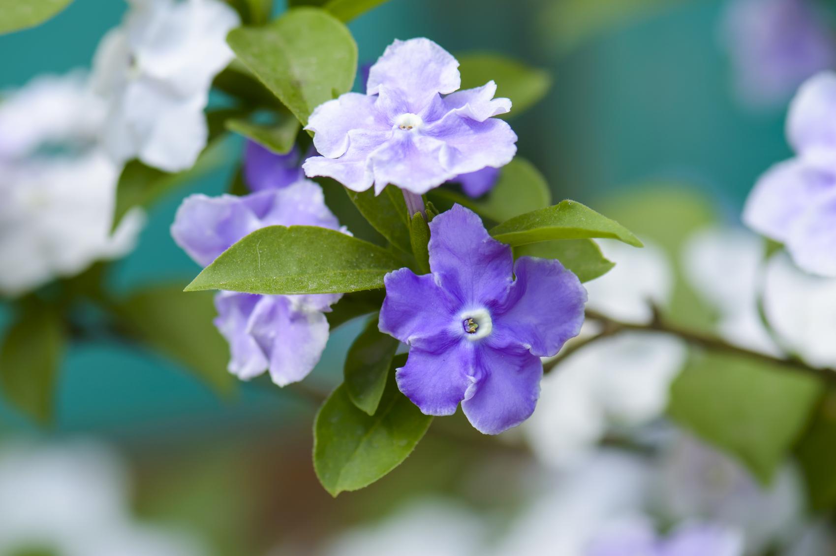 brunfelsia-blooms
