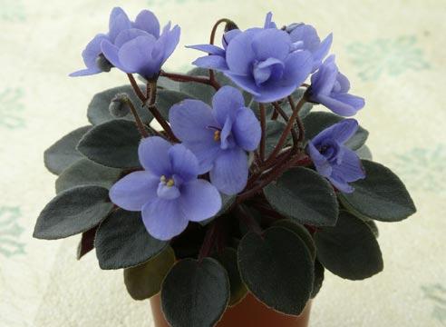 Saintpaulia blue
