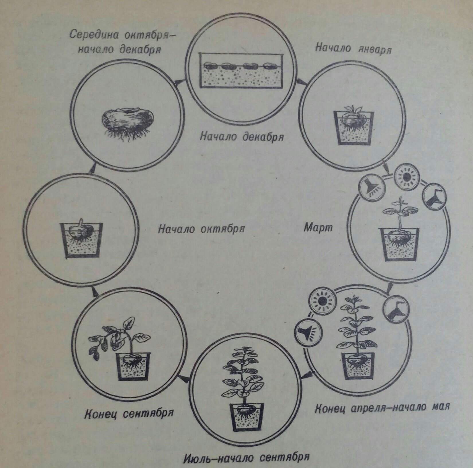 Цикл развития геснерии