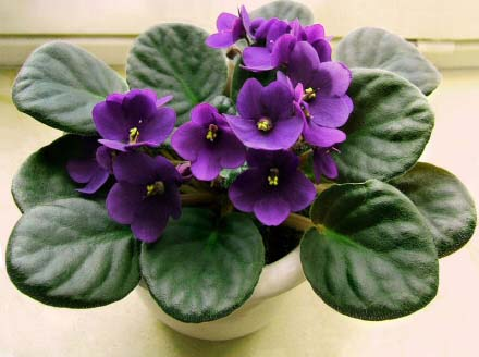 african-violet-purple-flowers