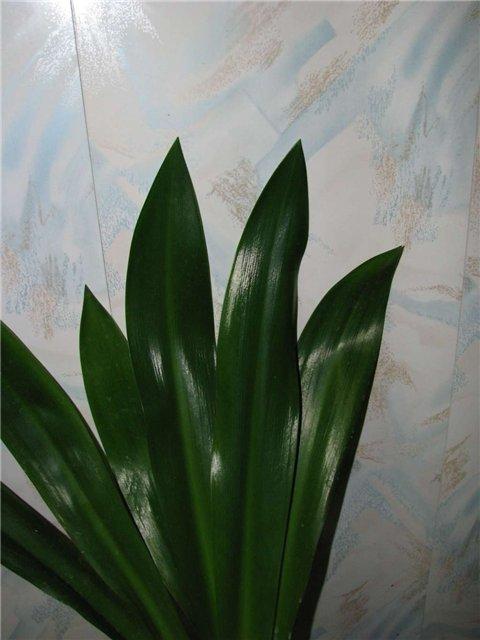 Листья гименокаллиса