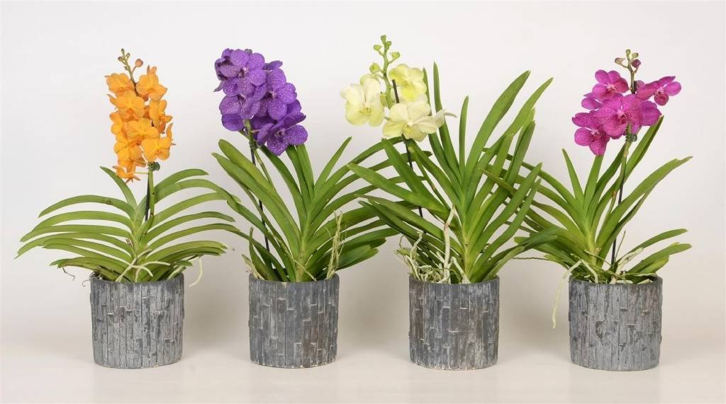 vanda-in-ceramic-pot-12-cm