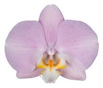 Padova (Anthura) цветок 9 см