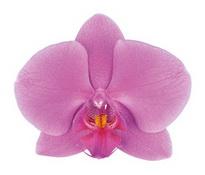 Pasadena (Anthura) цветок 8 см