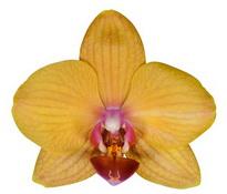 Piacenza (Anthura) цветок 7 см