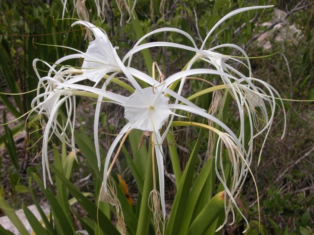hymenocallis_arenicola_flowers_3